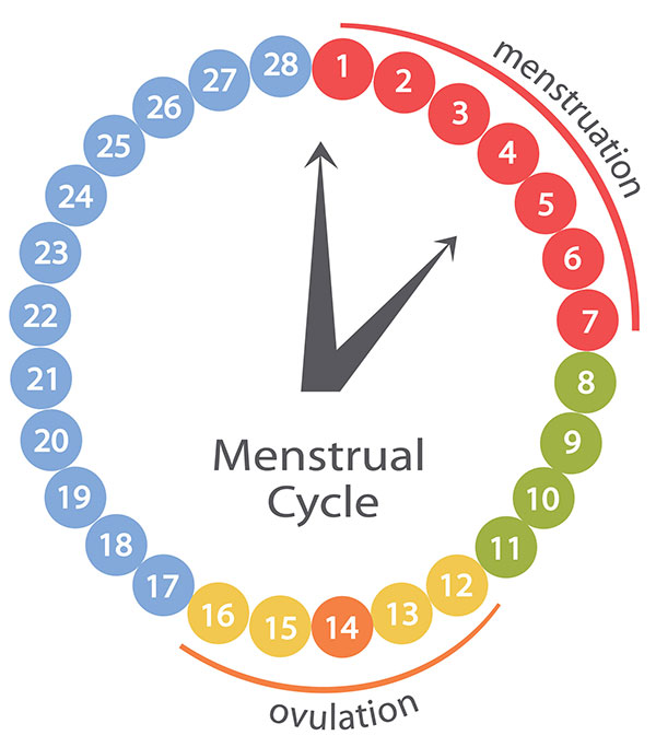 understanding the menstrual cycle